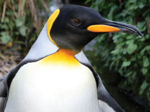 Six more King Penguins! Birdland's new arrivals from Edinburgh Zoo