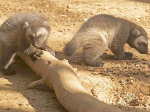 Wolverines at Cotswold Wildlife Park