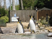 king Penguins at Birdland, Gloucestershire