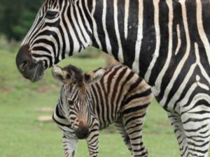 Zebra foal shows off its tiny stripes at Cotswold Wildlife Park