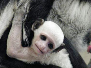 Cotswold Wildlife Park welcomes baby Colobus Monkey