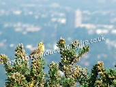 Yellowhammer over Cheltenham